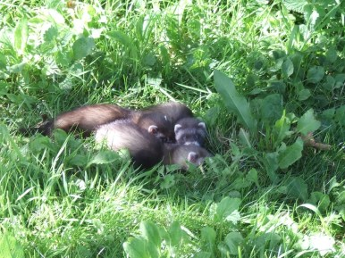 pic 24 baby ferrets in our fields