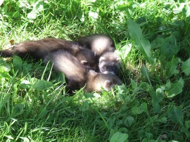 pic 25 baby ferrets in our fields