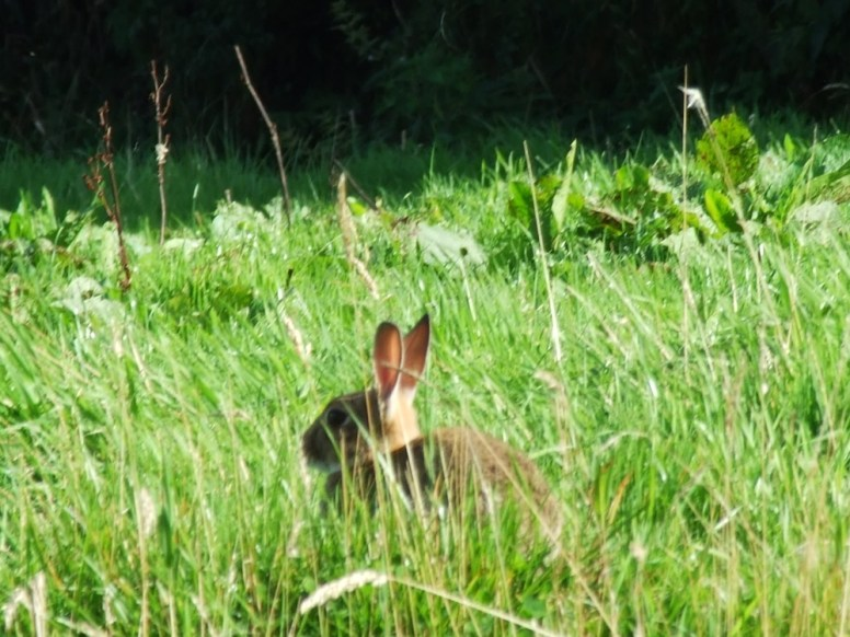 pic 26 one of our many wild rabbits