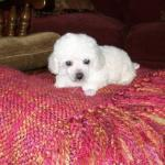 Teacup Toy Poodle Breeders Puppies For Sale In Florida Lowry Toy Poodles