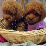 Teacup Toy Poodle Puppies For Sale In Florida Lowry Toy Poodles