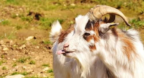 goat-2190007_640