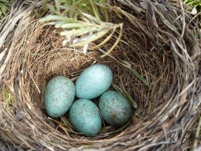 blackbird-nest-2206124_640