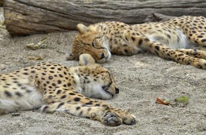 cheetah-2641881_640