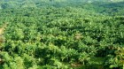 IOI Displacing People to Plant Oil Palm