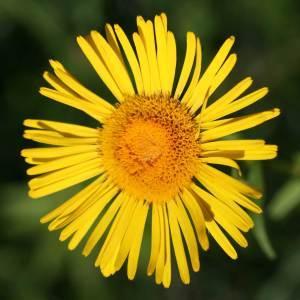 Das Weidenblättrige Ochsenauge ist eine typische Pflanze von Streuwiesen.