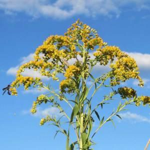 Kanadische Goldrute (Blüte)