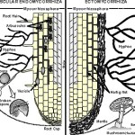 Two different types of mycorrhizal colonization.