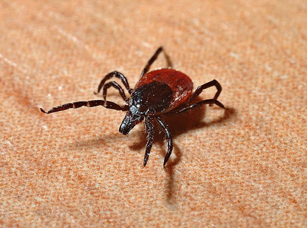 tick - Lyme disease - bugs