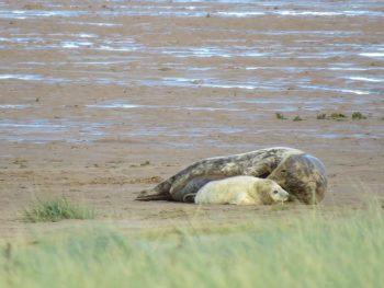 An image of the first seal pup to be born at Donna Nook in 2020.