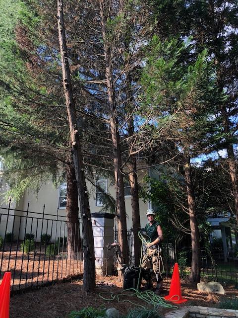 Leyland Cypress Removal
