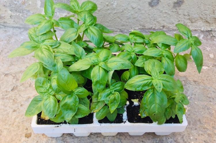 Fresh Herbs : Basil