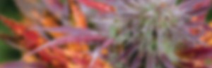 cannabis design, graphic design, design, branding, identity, identity design, packaging, web designer, website design, cannabis packaging, marketing, cannabis marketing, cannabis advertising, advertising, cannabis, marijuana, product design, marijuana packaging, weed packaging, weed design, cannabis branding agency, marketing agency, marijuana advertising, marijuana marketing, Portland, Oregon, extract, shatter, dab, BHO, PHO, dabs, crumble