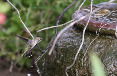 Hummingbird approaching fountain