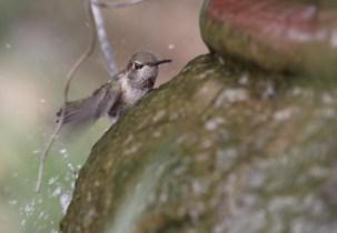 hummingbird bathing
