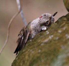 Hummingbird wetting top of head