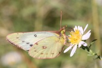 Sulphur butterfly on aster chilensis