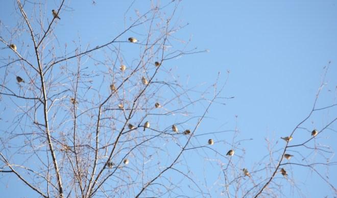 Birch finches 9669