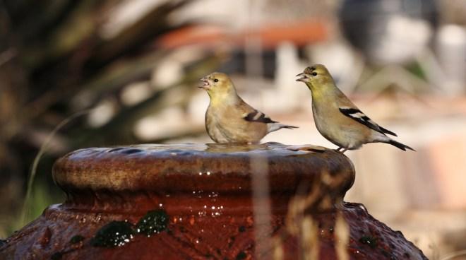 Finches bath 0278