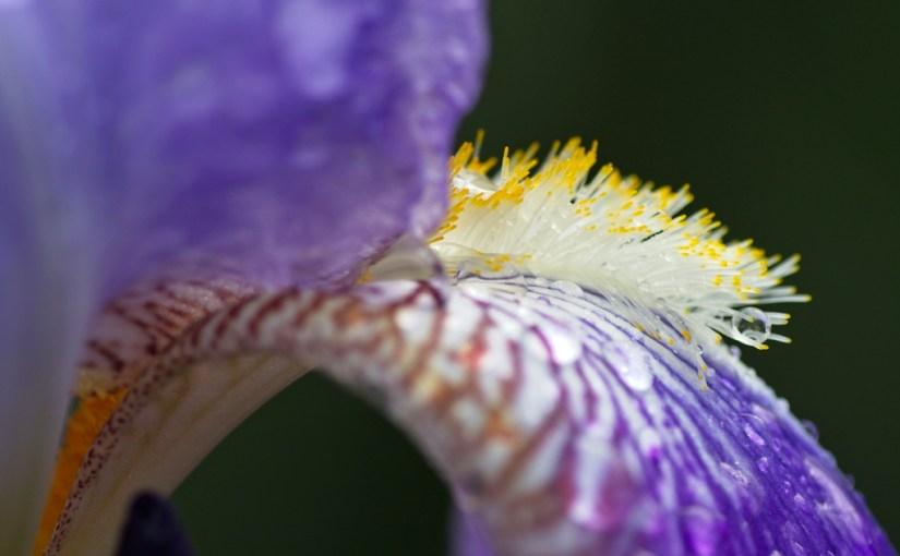 Irises: lush in spring, water saving in summer