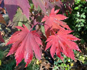 The most typical color on our tree is a blend of burgundy and this red. Since climate and soil can affect leaf color, your results may vary. Other varieties of the tree have different dominant colors.