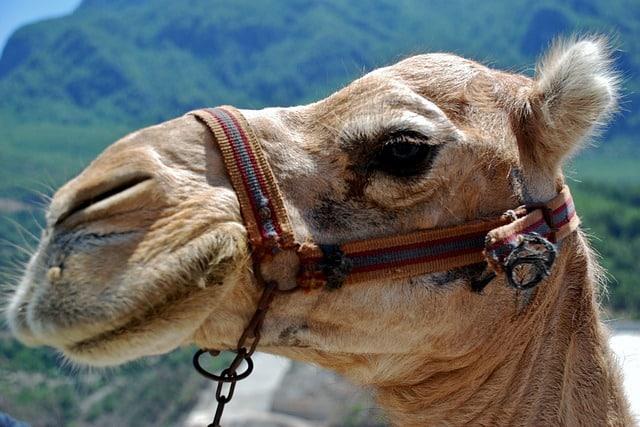 safari vacation, camel safari in Mexico