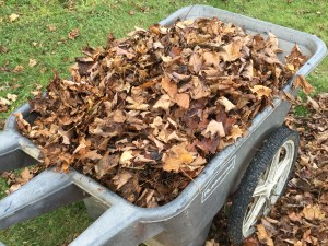 Wheelbarrow full of leaves.