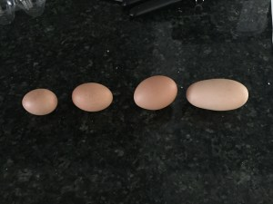 Different size eggs (likely from the same hen).