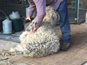 Rascal being sheared in spring 2016.