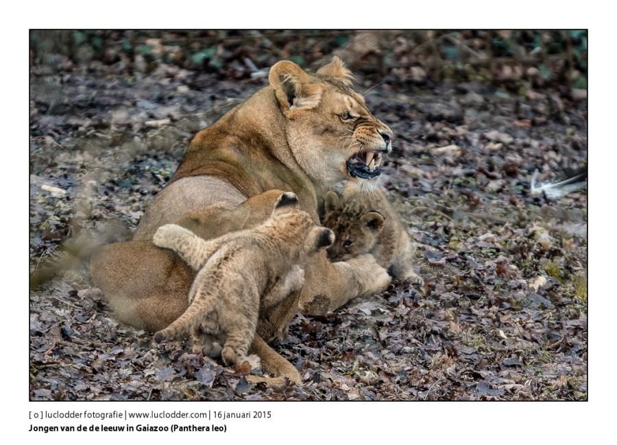 Gaiazoo - De leeuw (Panthera leo)