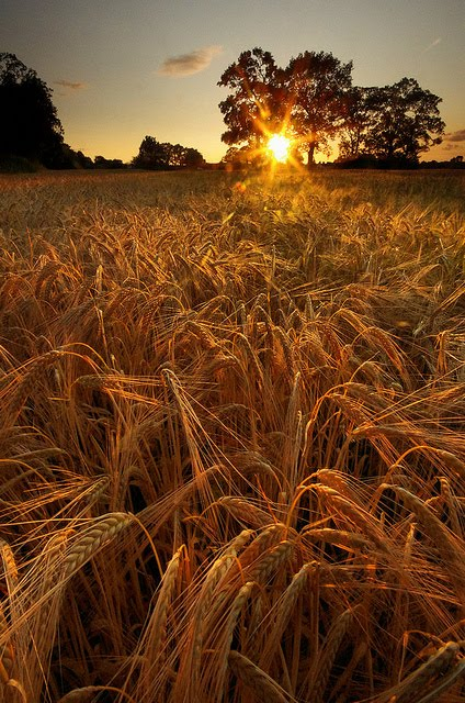 Barley Field Sunset, Lymm, England
