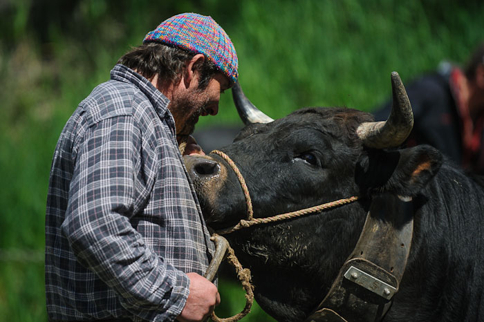 An owner reacts to his cow before a cow combat at the National Hérens Cow Festival on May 5, 2012 in Aproz in the Alpine Canton of Valais, Switzerland.
