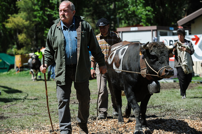 An owner leads his cor to the fightings at the National Hérens Cow Festival on May 5, 2012 in Aproz in the Alpine Canton of Valais, Switzerland.