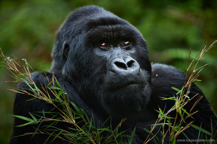The mountain gorilla lives in groups of one adult male, the silverback, and a number of females. Silverback gorilla can reach a height of more than 2 meters and a weight of more than 200 kilograms.