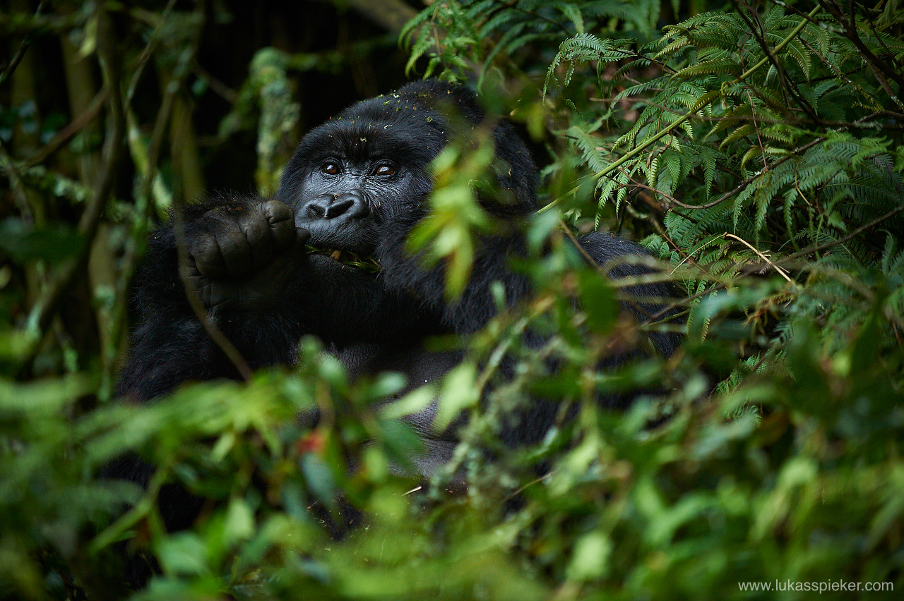 Mountain gorilla can eat more than 30 kilograms of leaves, shoots and stems per day.