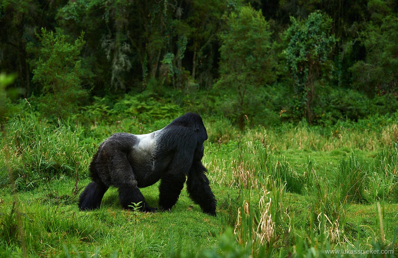 The silverback mountain gorilla is the leader of the group and protects the family.
