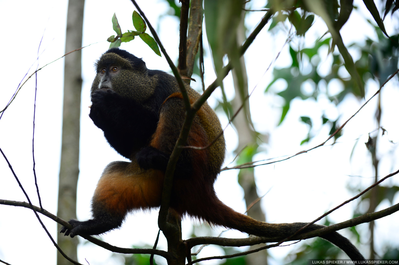 Golden Monkeys live in the bamboo forest of the Virunga volcanic mountains.
