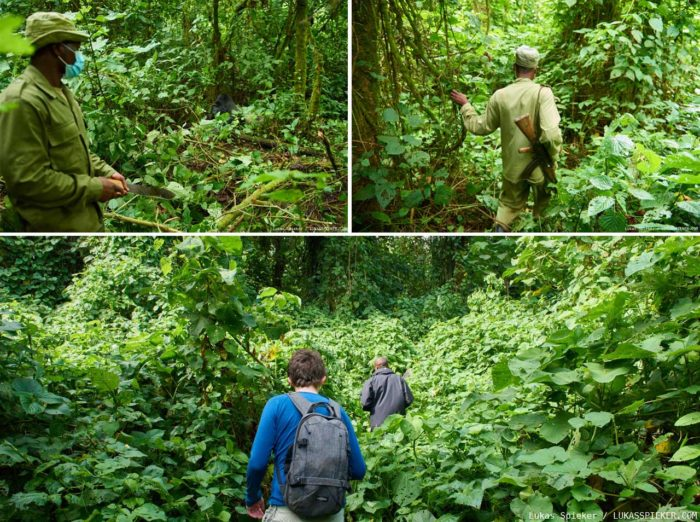 Park rangers lead the way to the mountain gorillas of the Virunga National Park in the Democratic Republic of the Congo.