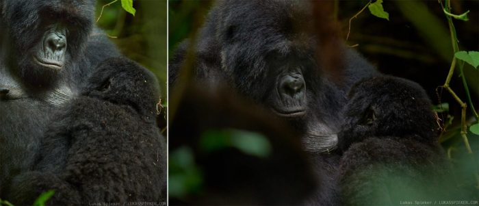 A mother of the Rugendo mountain gorilla family nurses her baby in the Virunga volcano mountains in the Democratic Republic of the Congo. Mountain gorillas live in groups of usually one silverback leader, and a number of females, and babys. The Rugendo group however has three silverbacks.