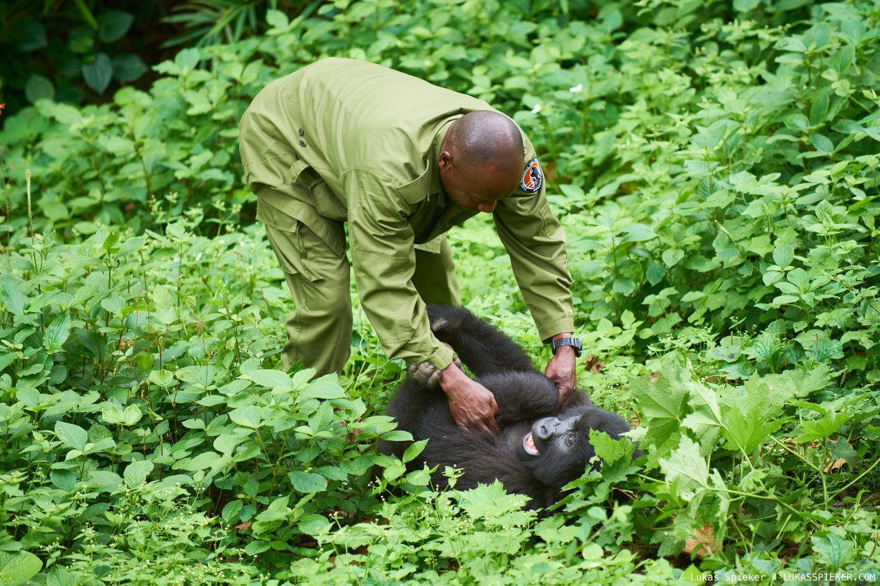 A mountain gorilla reacts to the tickle of a ranger in the Senkwekwe orphanage for mountain gorillas. The Virunga National Park in the Democratic Republic of the Congo includes an sanctuary for orphaned mountain gorillas.