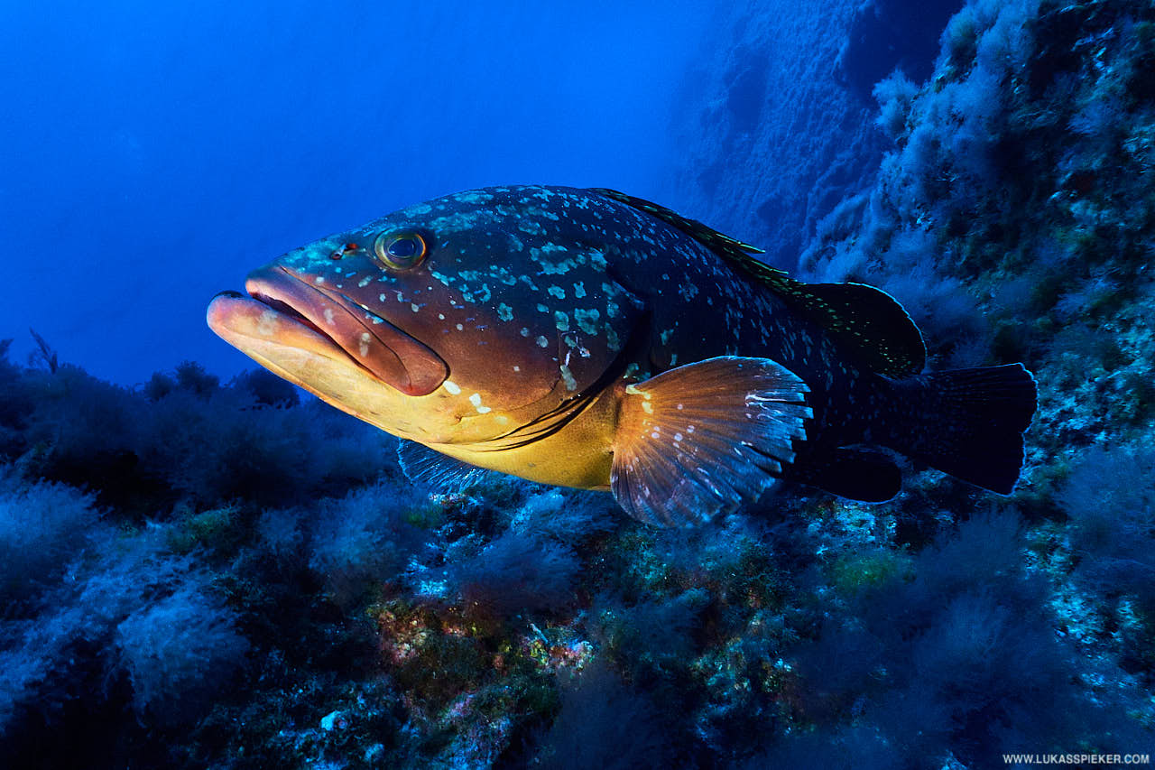 A dusky grouper (Epinephelus marginatus) curiously approaches. Dusky groupers can grow up to 1.5 metres length and live over several decades. They are an endangered species due to overfishing.