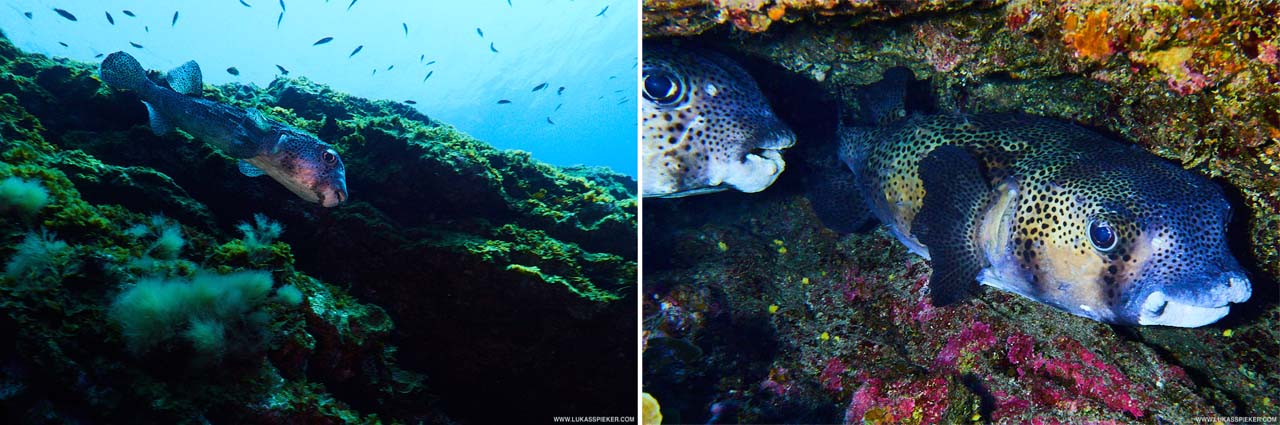 Porcupinefish (Chilomycterus reticulatus) is also called blowfish as they puff into the seabed to uncover crustacean.