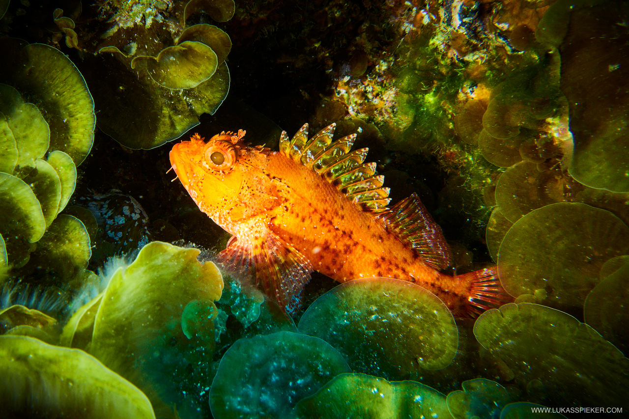 A small red scorpionfish (Scorpaena notata) hides in the shadow in the waters of El Hierro.