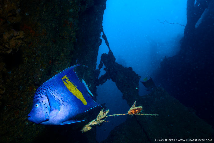 An Arabian angelfish (Pomacanthus asfur) swims at the wreck of the cargoship Orchard Reefer sunken 1974 after a machine room explosion near Moucha island, Djibouti. The wreck is also called Le Faon.