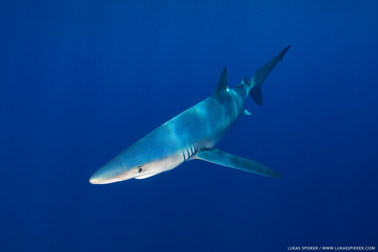 A blue shark (Prionace glauca) swims near Faial island, Azores. The blue-green colour on the back gives the name, while the underside is white. Blue shark can grow to about 3 metres length and live for about 20 years.