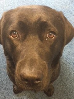 A close up of a Chocolate Labrador's Face with Brown Eyes, on a white background.