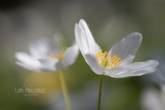 fleur-blanche-des-bois-1