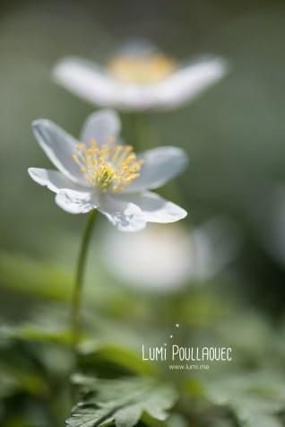 fleur-blanche-des-bois-3