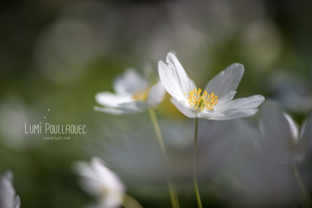 fleur-blanche-des-bois-5