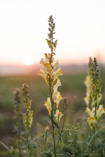 Photo prise par Lumi Poullaouec d'un magnifique lever de soleil sur les champs de Seine et Marne. Des fleurs en premier plan.